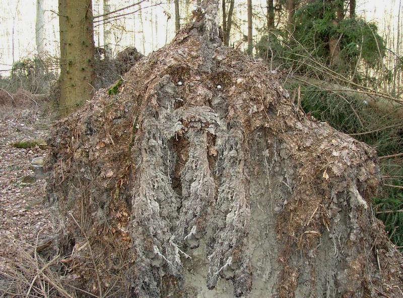 Der Waldbold