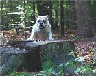 Der Waldschrat.