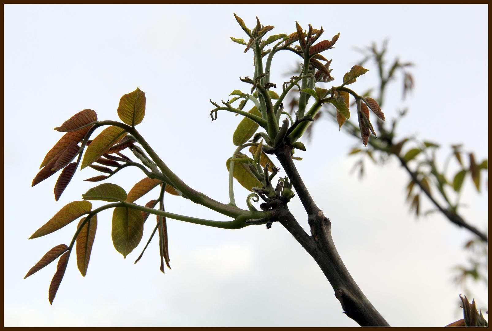 Der Walnussbaum erwacht zu neuem Leben