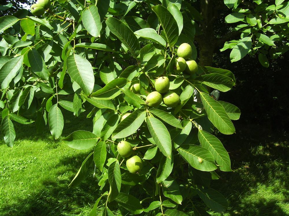 der walnussbaum sommer 2008 foto bild pflanzen pilze flechten b ume blatt bl te. Black Bedroom Furniture Sets. Home Design Ideas