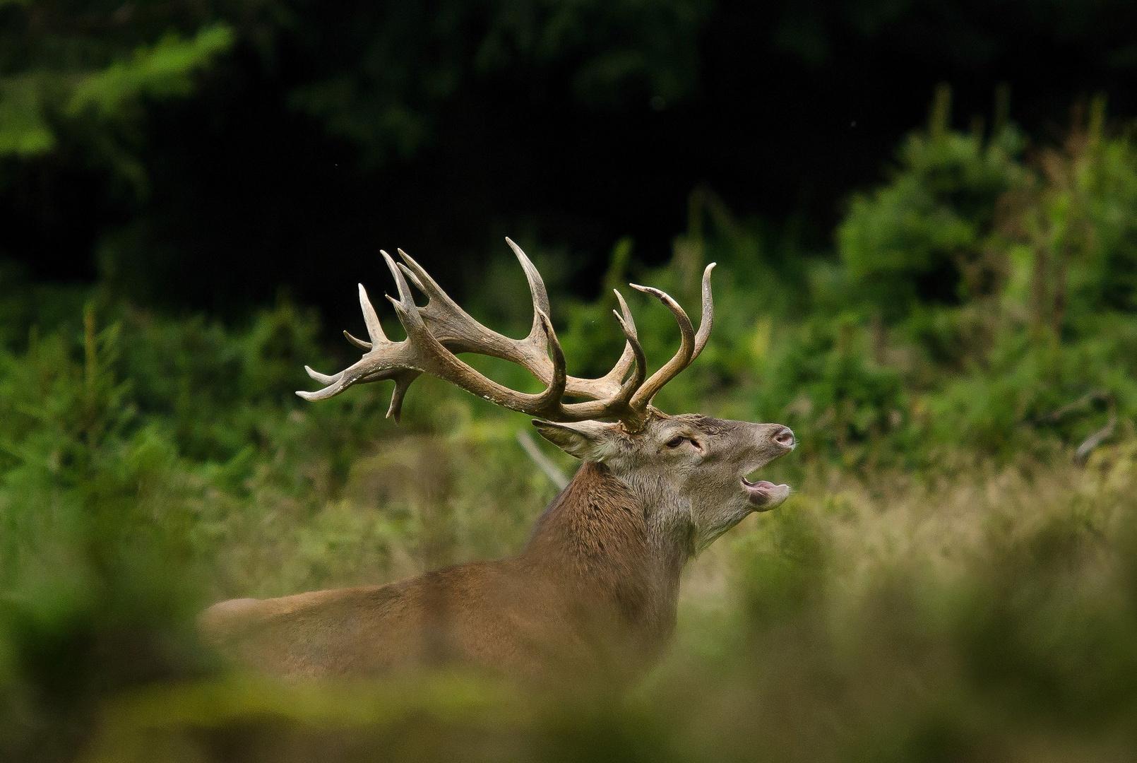 Der Wapiti-Hirsch - ein ungerader 22-Ender