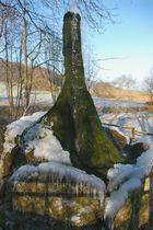 Der Wasserbaum - ein Naturdenkmal