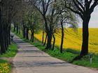 Der Weg durch Rapsfelder....