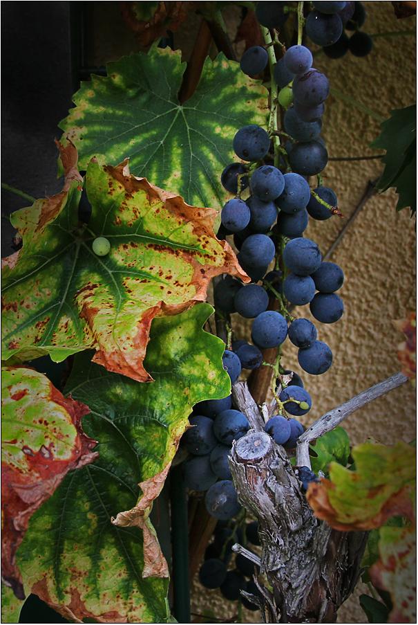 Der Wein ist jetzt schon blau ...