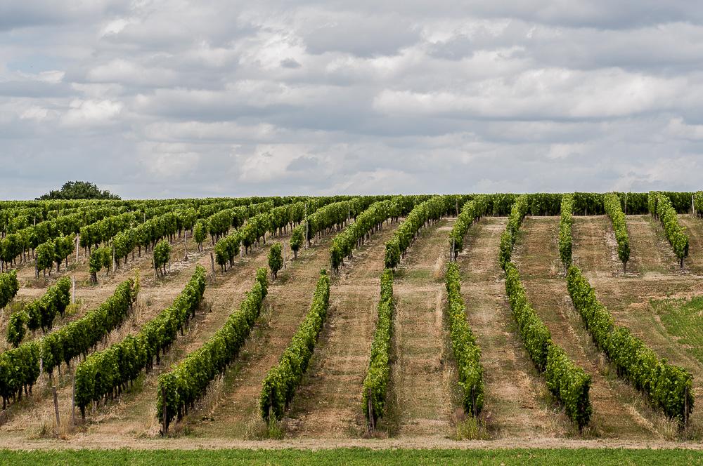 Der Weinberg: die Ernte hat noch nicht begonnen
