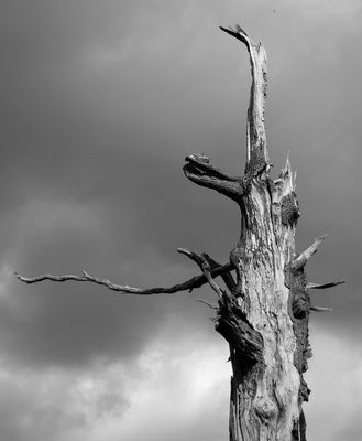 Der weiße Baum Gondors hat seit Jahrhunderten nicht geblüht