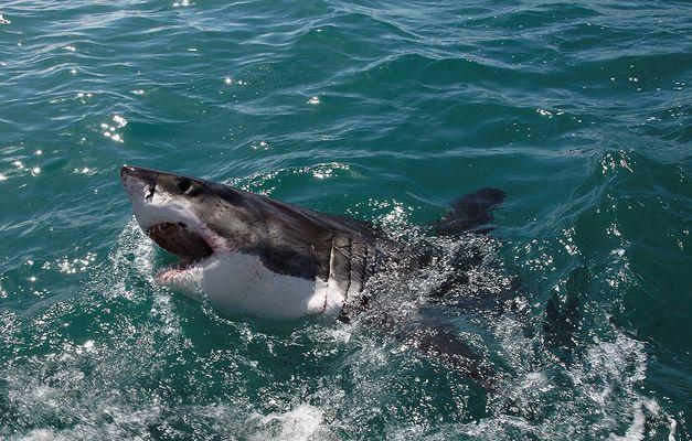 Der Weisse Hai ....... endlich !!