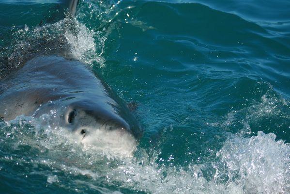 Der weiße Hai Teil 2