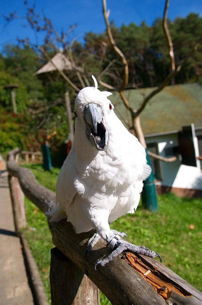 der weiße Kakadu