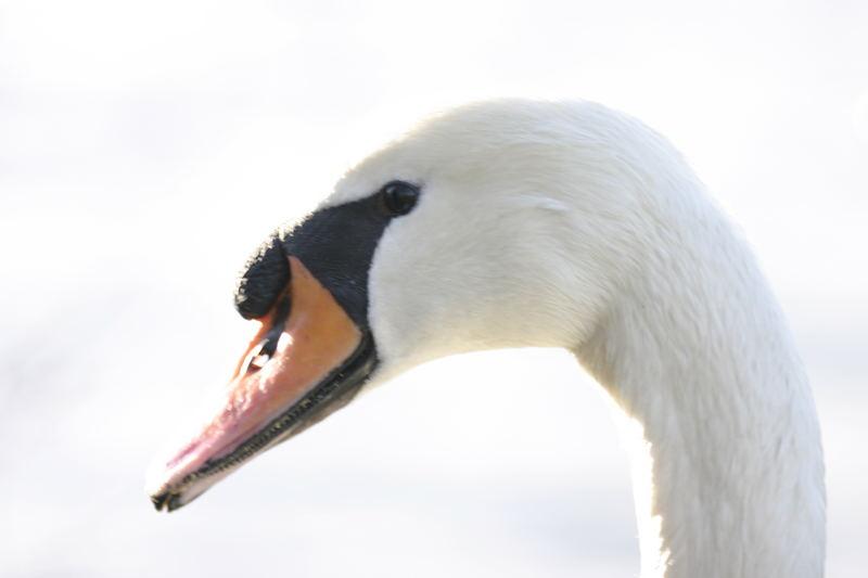 Der weiße Schwan