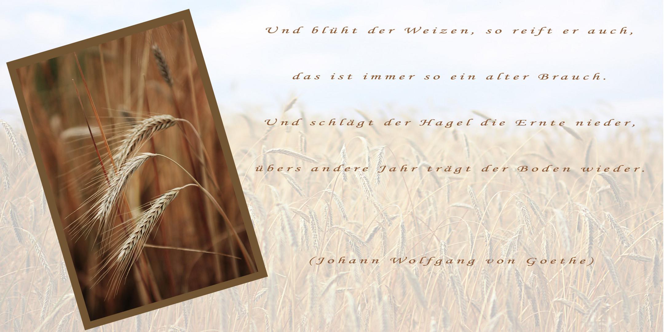 Der Weizen...