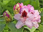 Der Werdegang einer Rhododrendron-Blüte