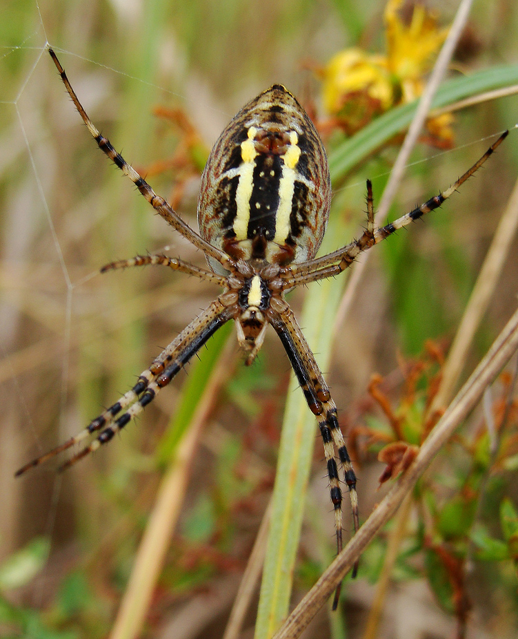 Der Wespenspinne auf die Spinndrüse geschaut.....