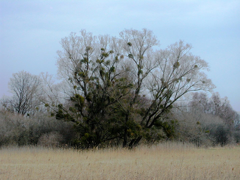 Der Wirtsbaum
