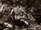 Der Wolf....