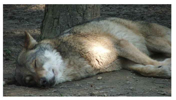 Der Wolf am schlafen