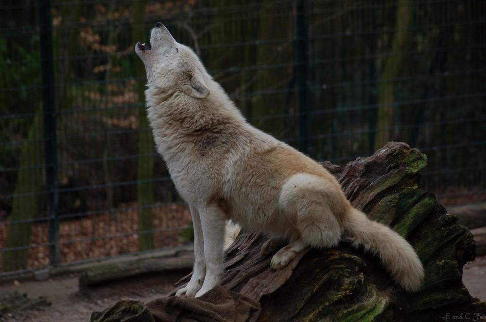 der wolf heult foto bild tiere zoo wildpark falknerei s ugetiere bilder auf fotocommunity. Black Bedroom Furniture Sets. Home Design Ideas
