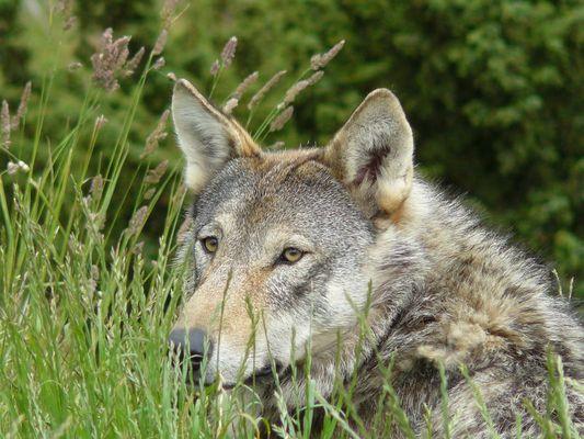Der Wolf in Schottland...