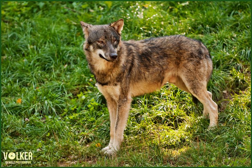 Der Wolf > Janosch>