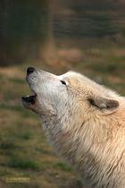 Der Wolf ruft