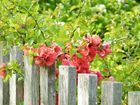 Der Zaun.Die Blume