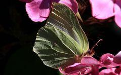 der Zitronenfalter (Gonepteryx rhamni)...