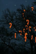 Der Zuckerstangenbaum
