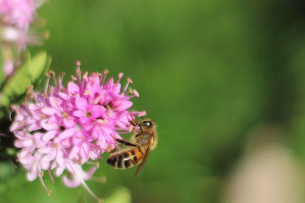 Dernière abeille vu avant l'automne...