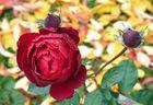 Dernières roses sur fond automnal.