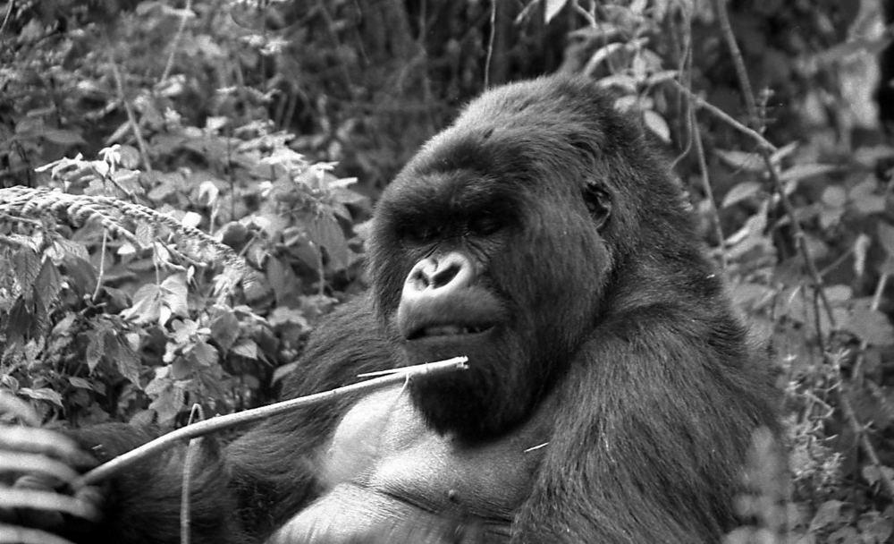 Derniers gorilles 1