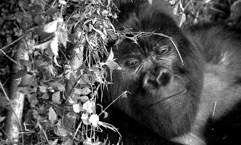 Derniers gorilles 3