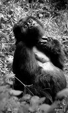 Derniers gorilles 4