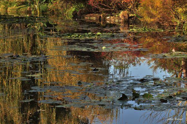 derniers reflets sur l'étang des nymphéas