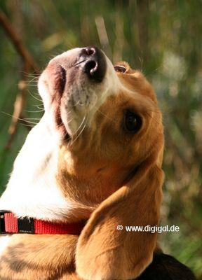 Des Beagle's Blick