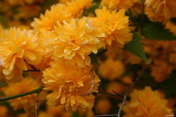 des fleurs (Corête du Japon - Kerria japonica=