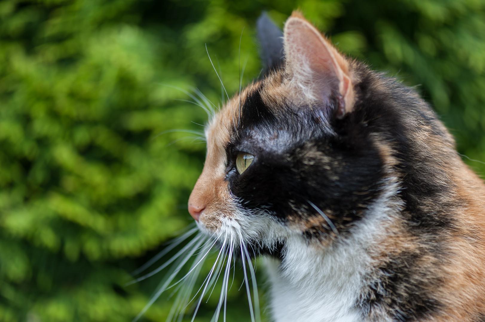 Des Nachbars Katze1