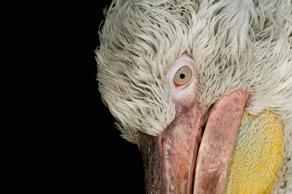 des Pelikans Auge