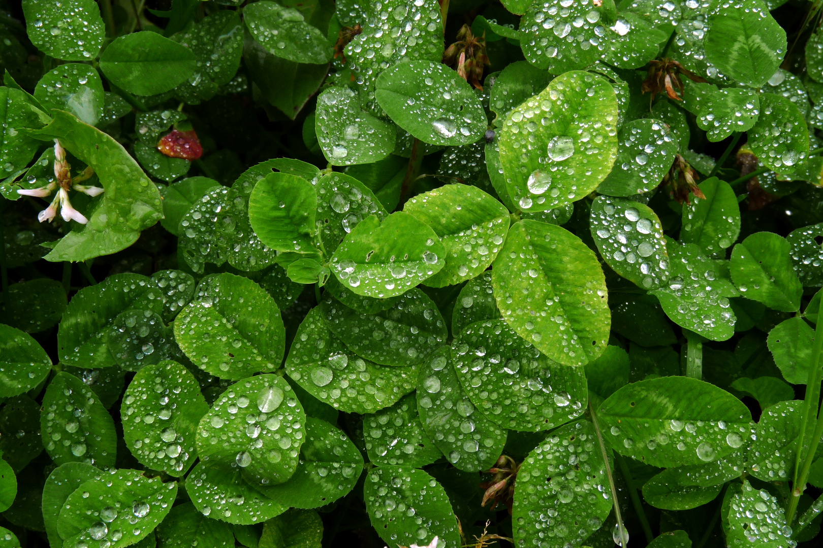 des perles de pluie