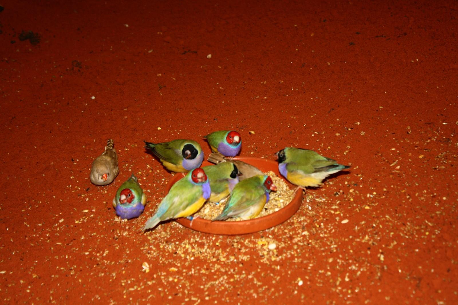 des petits oiseaux d'australie