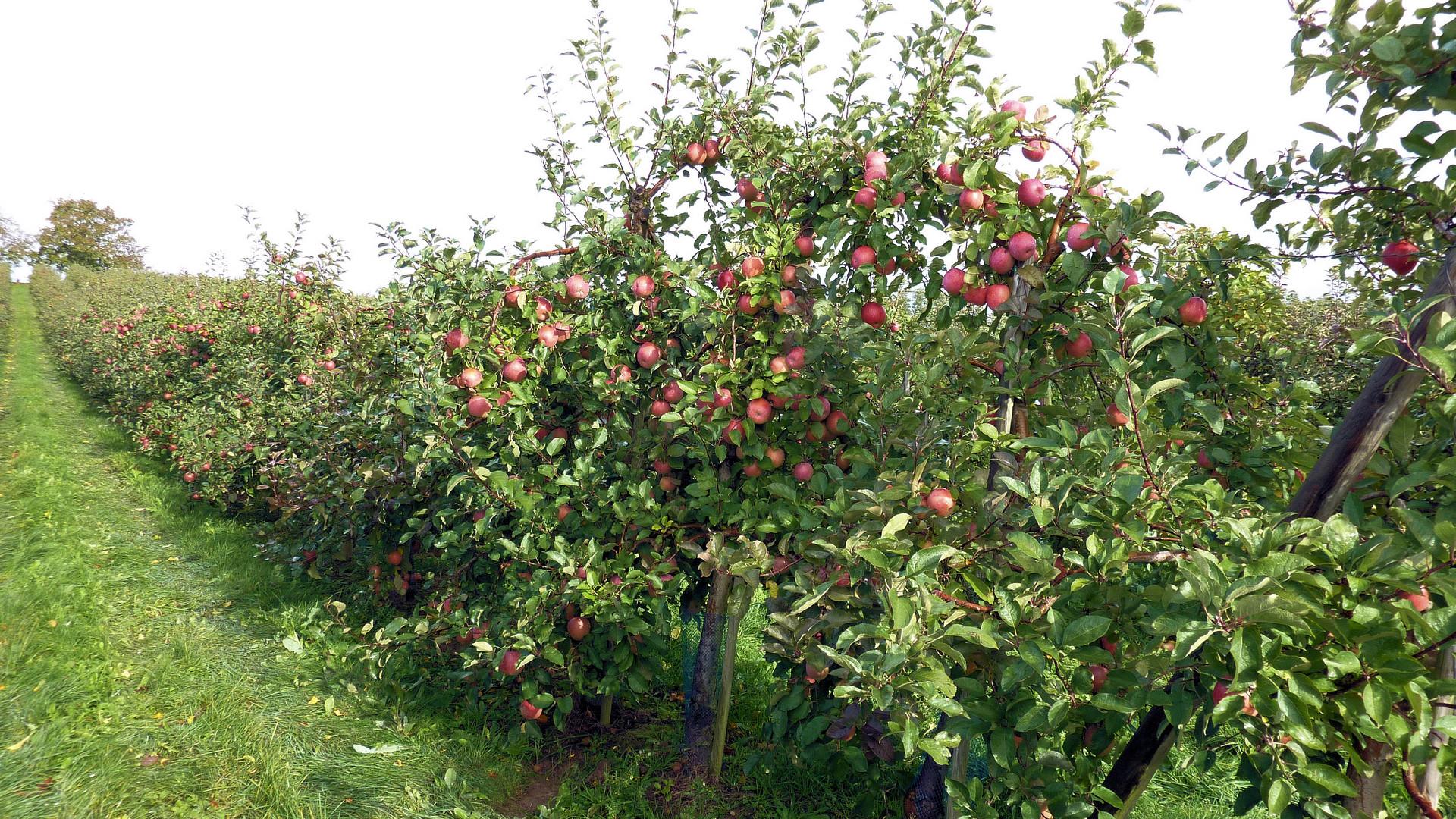 des pommes, des poires et ........................