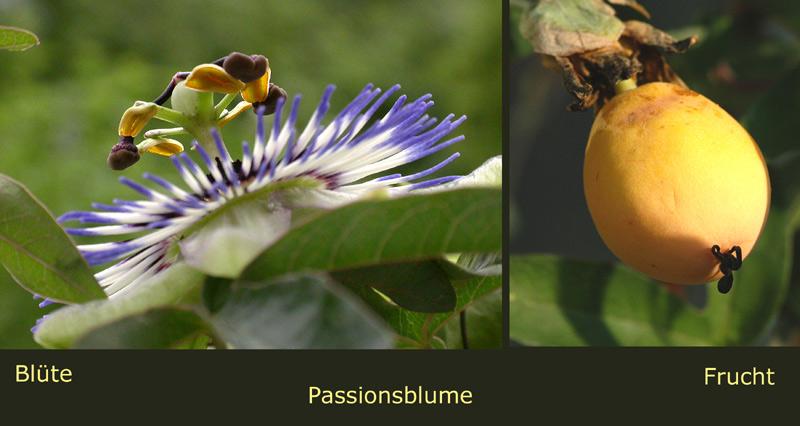 des Rätsels Lösung - die Passionsblume bzw. Frucht