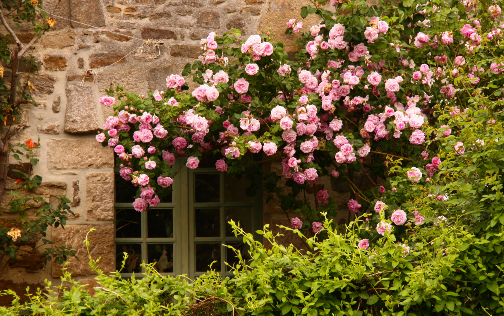 des roses à perte de vue!