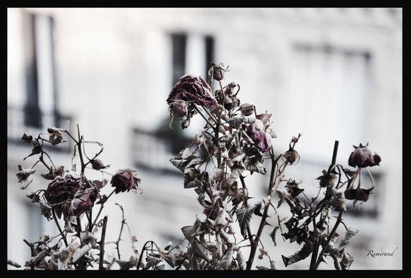 Des roses mortes