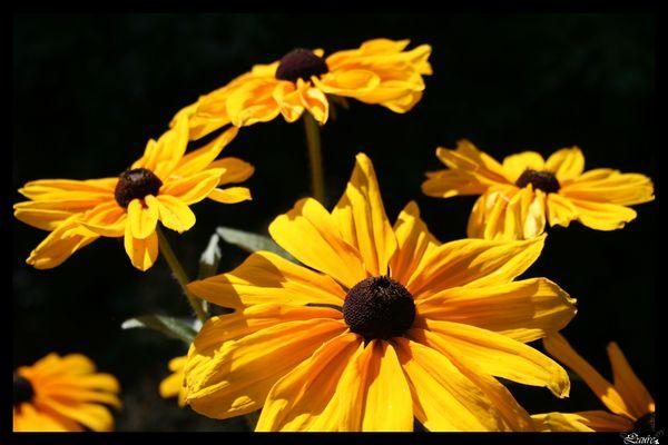 Des soleils et des fleurs