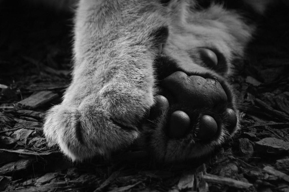 Des Tigers große Tatzen