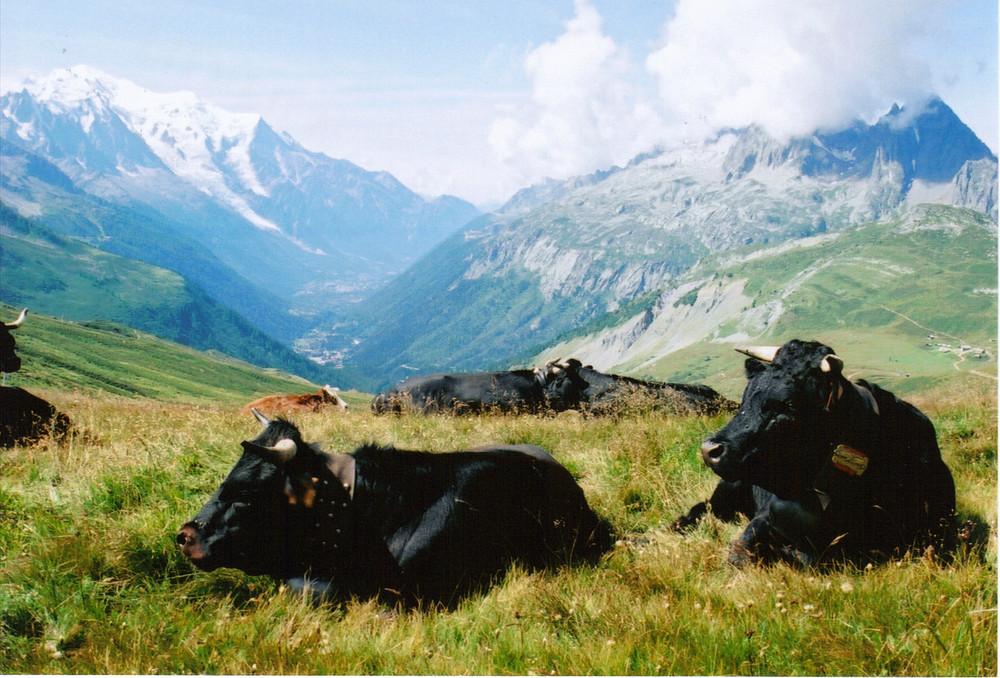 des vaches hérens avec vue sur le mont blanc
