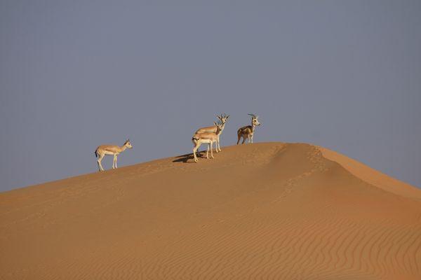 --- Desert Animals ---