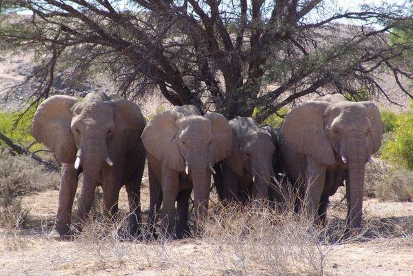 Desert-Elefanten