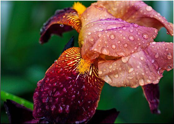 Detail einer Gartenlilie