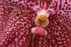 Detail einer Orchideen-Blüte ( Wanda Ssp. ?)